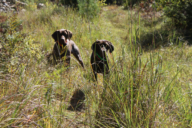 German Shorthairs on Point !