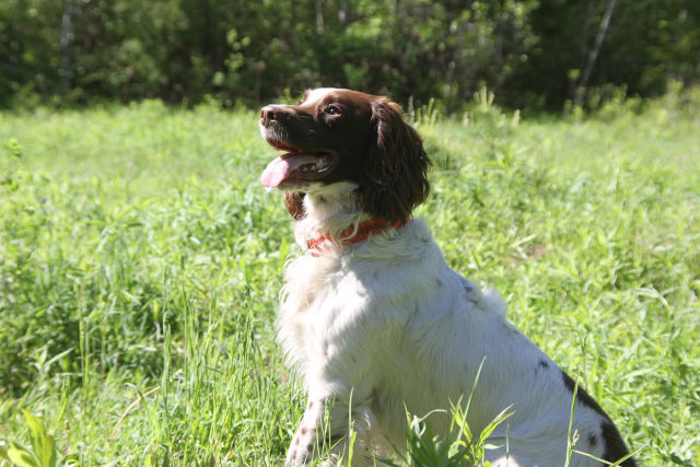Field Bred English Springer